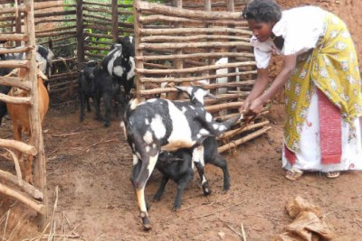 File photo of Ms Teopista Nalubega tending her goats at her home.