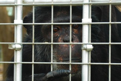 Chimpanzee in a cage in Tripoli zoo