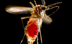 Malaria Parasites Make Human Hosts Attract Mosquitoes