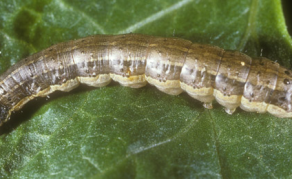 Southern Africa Battles Armyworm Invasion
