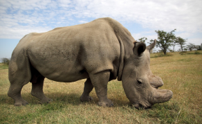 Was South Africa's Rhino Horn Sale a Damp Squib?