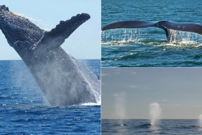 Humpback whale left, Southern Right Whale, right top, Humpback Whales, bottom