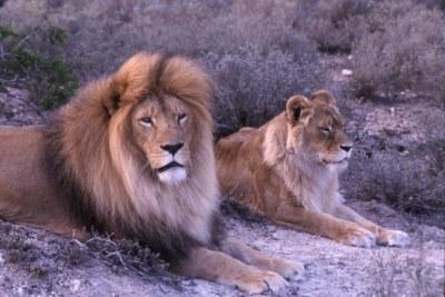 Lion Cecil