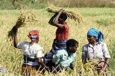 Women weed a field of rice