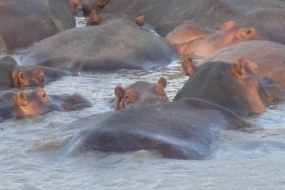 Hippopotames dans l'estuaire du Greater St. Lucia Wetland Park, Afrique du Sud