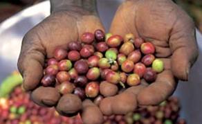 ADO décrète l'arrêt d'exportation de café cacao