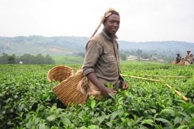 Tea picking (file photo).