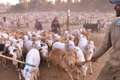 The disease can cause death rates of up to 100 percent in sheep and goats (file photo).