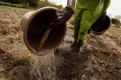 Une femme arrosant le sol pour préparer la terre avant de planter du chou au Sénégal
