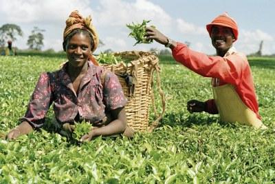 Harvesting: Two pickers make their way through a field in Limuru, Kenya