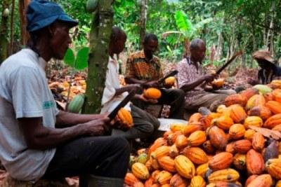 Producteurs de cacao camerounais.