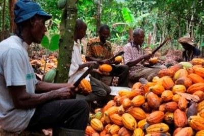 Producteurs de cacao en Afrique de l'Ouest.