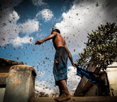 Invasion de criquets à Madagascar