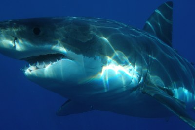 Great white shark (file photo).