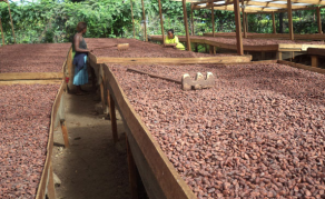 Relishing the Five-Year Turnaround Plan for Nigeria's Cocoa