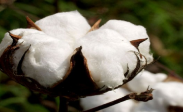 Cotton Seed to Breathe New Life Into Nigeria's Textile Sector?