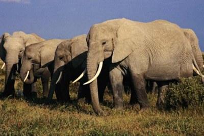 Eléphants de la Tanzanie.