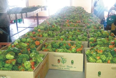 Red and green peppers in preshipment sorting (file photo).