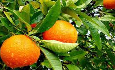 Zimbabwe: Govt Targets Chinese Citrus Market
