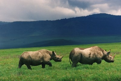 Black Rhino in Ngorongoro Conservation Area.(file photo).