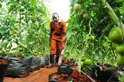 A farmer inspects his tomatoes in his greenhouse on his farm in Mathakwa-ini in Tetu (file photo).