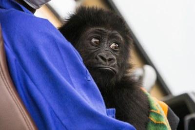 Gorille du parc des Virunga