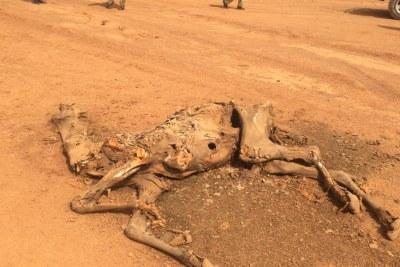 Un dromadaire mort en Somalie en juillet 2017.