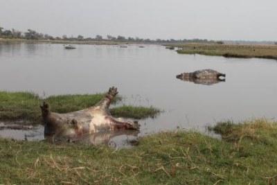 Une centaine d'hippopotames morts dans le parc national de Bwabwata en Namibie