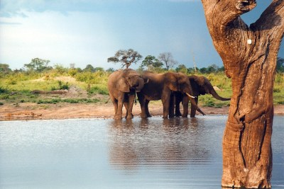 Hwange National Park -Young male elephants hang around in bachelor herds.