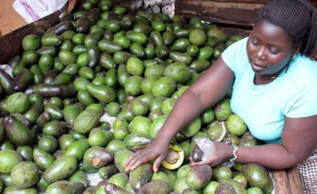 Kenya Becomes First African Nation to Export Avocados to China