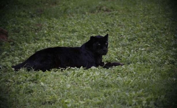 8a089b9088 UK Photographer Captures Elusive Black Leopard in Kenya - allAfrica.com