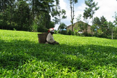 A tea plantation in Kenya (file photo).