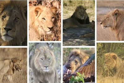 Some of the lions that have been killed by trophy hunters in the region over the last 10 years.