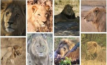 Killing of Famed Lion Seduli on World Lion Day Sparks Outrage