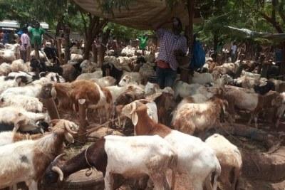 Des moutons de la Tabaski